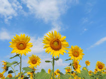 Sunflower in garden. Stock Images