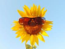 Sunflower in garden. Stock Images