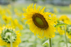 Sunflower Garden Royalty Free Stock Photography