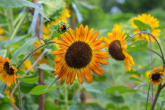 Sunflower in garden,Thailand Stock Photography
