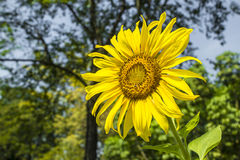 Sunflower in garden. Sunflower, the trunk is straight, about 3-4 feet high, but if planted in the cold can be as high as 6 feet leaves are alternate. The stock images