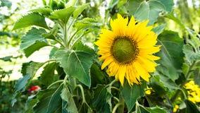 Sunflower in garden. Yellow sunflower in the garden Stock Photography