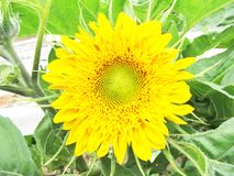 Sunflower in the garden Royalty Free Stock Images