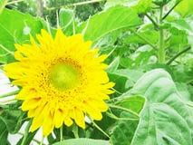 Sunflower in the garden Stock Images