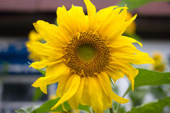 Sunflower in the garden. Yellow flower, countryside bright color, Ukraine Stock Photography