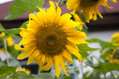 Sunflower in the garden. Yellow flower, countryside bright color, Ukraine Royalty Free Stock Photography