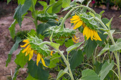 Sunflower in garden Royalty Free Stock Photos