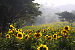 Sunflower. (sunflower) is a genus of plants comprising about 52 species[3] in the Asteraceae family, all of which are native to North America. The common name Royalty Free Stock Image