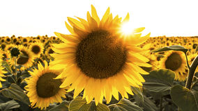 Sunflower gets shined by the sun Royalty Free Stock Photos