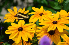 Sunflower and Giant Swallow Tail Butterfly Royalty Free Stock Images