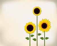 Sunflower gift card. Three bright sunflowers gift card Stock Photos