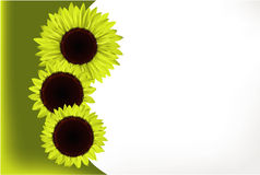 Sunflower gift card. Three bright sunflowers gift card Royalty Free Stock Photo