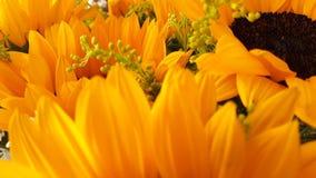 Sunflower. Girasol, sunlight, yellow, white Stock Image