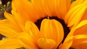 Sunflower. Girasol, sunlight, yellow, white Stock Photos