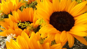 Sunflower. Girasol, sunlight, yellow, white Stock Images