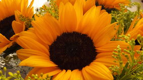 Sunflower. Girasol, sunlight, yellow, white Royalty Free Stock Images