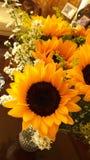 Sunflower. Girasol, sunlight, yellow, white Stock Photography