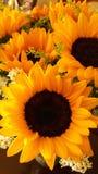 Sunflower. Girasol, sunlight, yellow, white Royalty Free Stock Photo