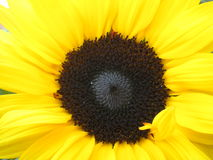 Sunflower. Girasole fiorito nella campagna toscana Stock Photos