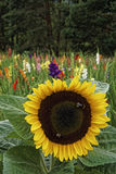 Sunflower and gladiola Royalty Free Stock Photos