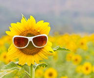 Sunflower with Glasses Stock Photo