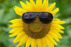 Sunflower with glasses Stock Photography