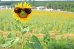 Sunflower and glasses Stock Image