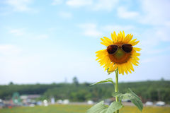Sunflower and glasses Royalty Free Stock Photography