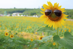 Sunflower and glasses Royalty Free Stock Image
