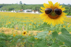 Sunflower and glasses Royalty Free Stock Images