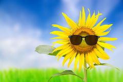 Sunflower glasses. Sunflower glasses with a sky background Royalty Free Stock Photography