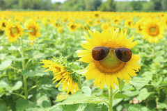 Sunflower and glasses Stock Images