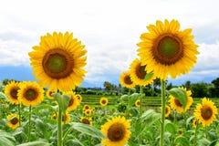 Sunflower Gold Rush stock photo