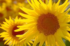 Sunflower in the golden light of the sun. Magic sunflower widlflower in the rays of the setting sun Stock Photography