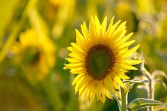 Sunflower in the golden light of the sun Stock Image