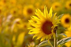 Sunflower in the golden light of the sun Royalty Free Stock Images