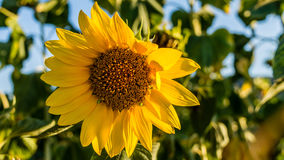 Sunflower. Golden sunflower lighten up by the setting sun, for me at least, is one of the signs of summer. I am not big fan of summer because of the hot royalty free stock photography