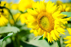 Sunflower. Golden sunflowers on a sunny agricultural green field Stock Photography