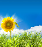Sunflower and grass Stock Photography