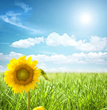 Sunflower and grass Royalty Free Stock Images