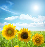 Sunflower and grass Stock Images