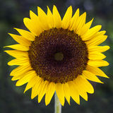 Sunflower with green background Stock Photo