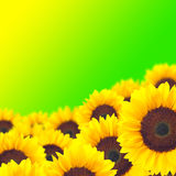 Sunflower on green background. Royalty Free Stock Images