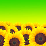 Sunflower on green background. Royalty Free Stock Photography