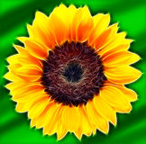 Sunflower on green background. Fractalius Stock Photography