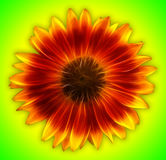 Sunflower on green background. Fractalius Royalty Free Stock Image