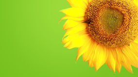 Sunflower on green background Royalty Free Stock Photo