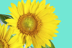 Sunflower on green background Stock Images