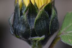 Sunflower Green Bracts Macro. Yellow petals and dark green bracts on Sunflower bud with partial leaf Stock Photos