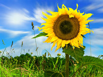 Sunflower in green field Stock Image